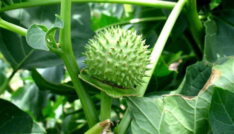 hình cây cà độc dược