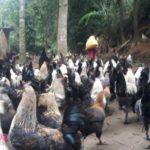 vườn gà đen Bắc Hà