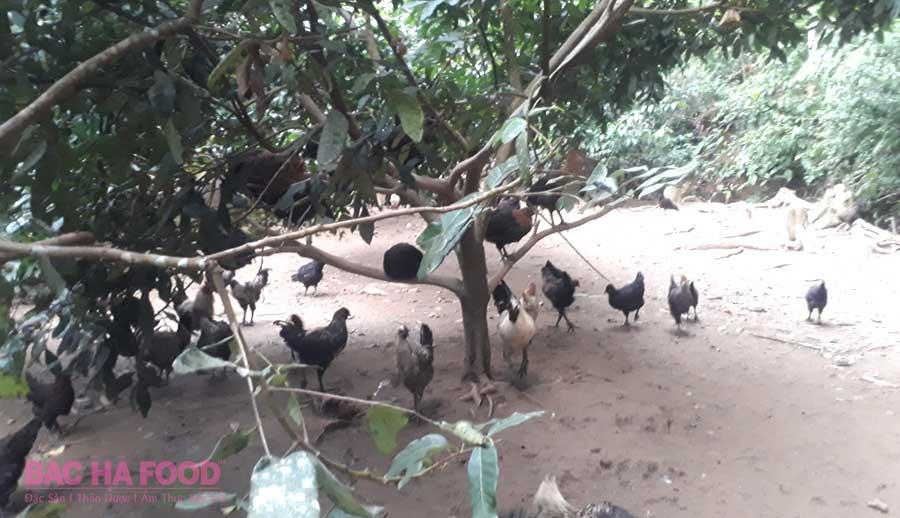 gà đen
